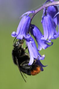 Redtailed bumblebee on bluebell