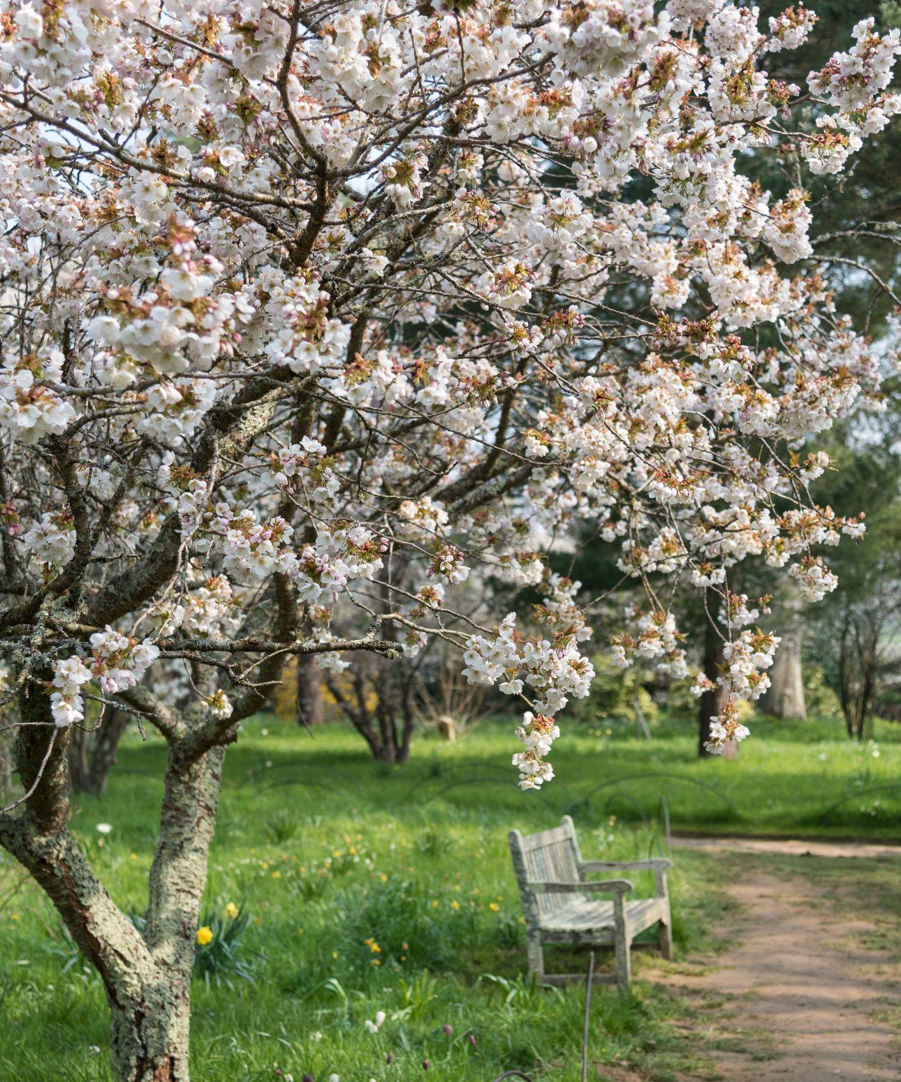 Batemans cherry blossom - ©National Trust