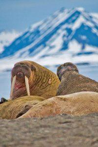 cheeky walrus