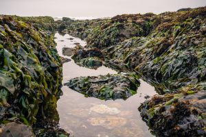 rockpool filled with kelp